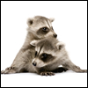 Raccoon Ruckus
